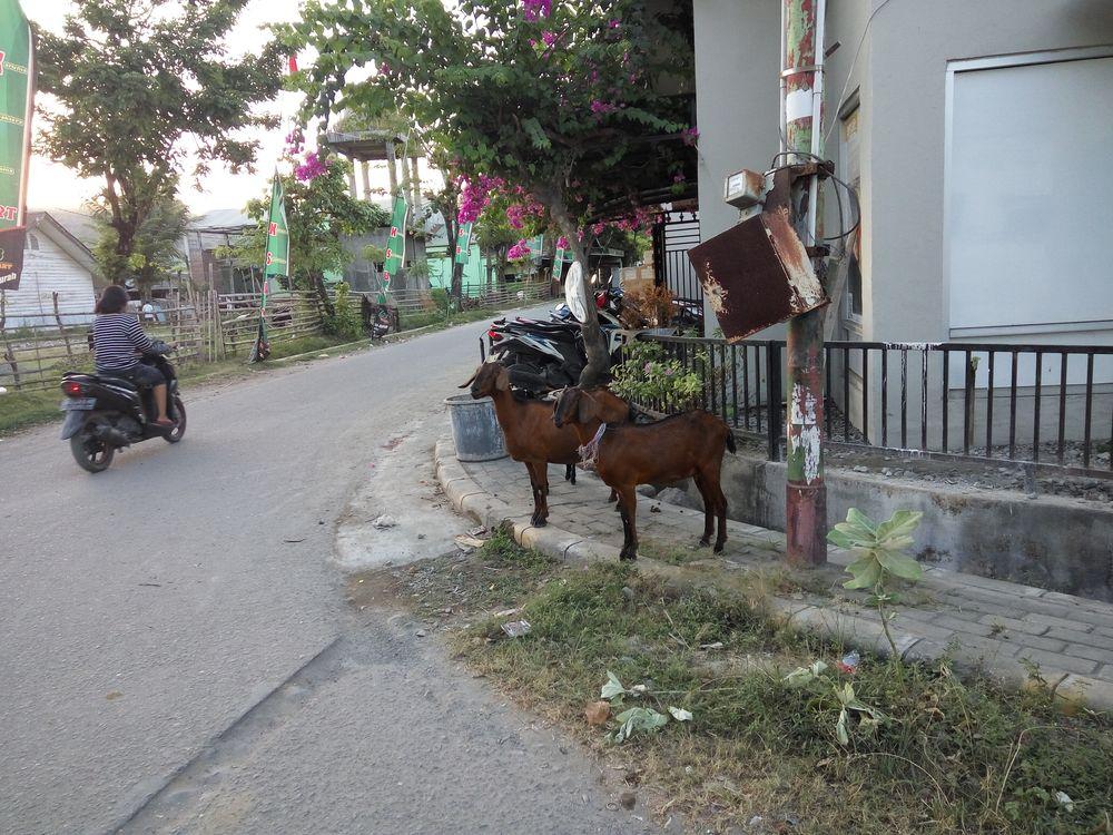 Kozy na Sumbawě